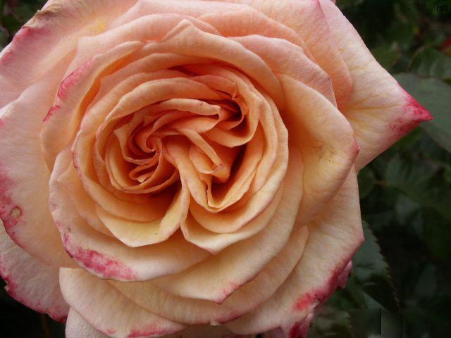 Duft einer Rose