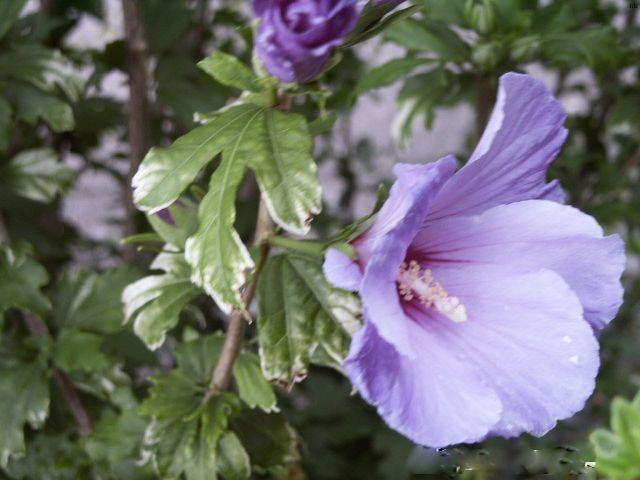 Violette Schoenheit